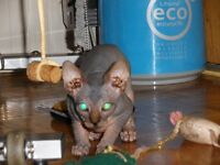Naked Sphynx kitten TICA male ready to go for July