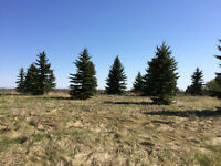 10 foot - 30 foot  Spruce tress for sale