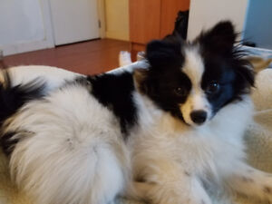 3 month old Pomchi (Pomeranian and Chihuahua mix)