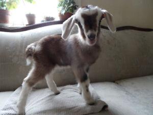 Neubian Cross Bottle Feeder Goat