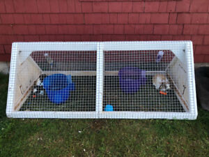2 Male Holland Lop Bunnies w/ Cage