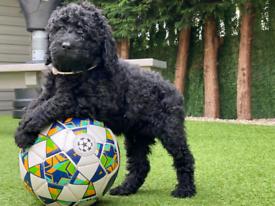 Black Multigenerational Labradoodle boy puppy ..readvertising due to c