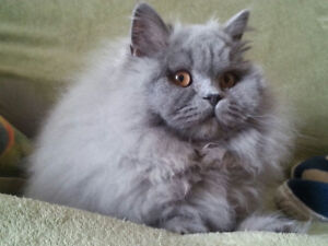 BRITISH SHORTHAIR/ LONGHAIR  registered TICA .