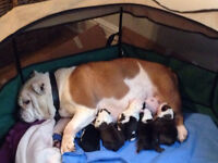 KC REG ENGLISH BULLDOG PUPPIES