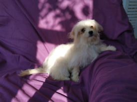 Adorable Poochi Puppies for sale