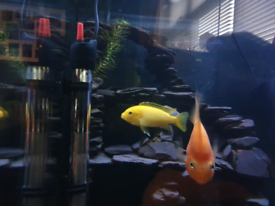 Yellow lab malawi cichlid and blood red parrot