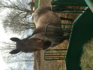 8 Year old Bay Roan AQHA Broodmare