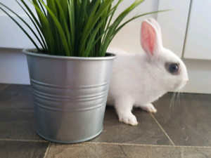 Only 2 left!  Baby Netherland Dwarf Bunnies