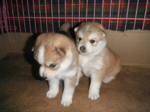 1  MALE VERY ADORABLE MINI HUSKY  PUPPY LEFT