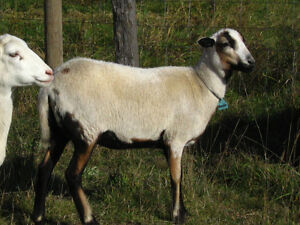 BRED Dorper-Barbados-Painted Desert ewe lamb sheep