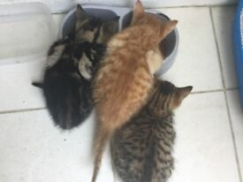 Three beautiful kittens two males one female
