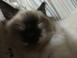 Seal Mitted Ragdoll- everything included!!!!!