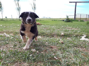 ONLY 1 LEFT! Border Collie Ranch Puppies