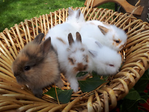 Purebred Double Maned Dwarf Lionhead Bunnies