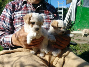 Adorable Maltipoo puppies