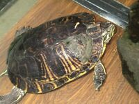 largre turtle for sale 50$ or  best offer