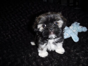 Adorable female Shih Tzu puppy ready to go.
