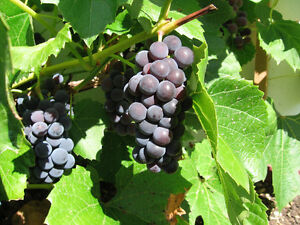 Valiant grape bush