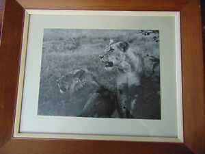 Lion Print given by The Archbiship of East Africa 1965 London Ontario image 3