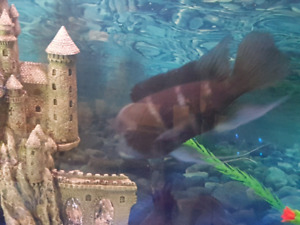 Cichlid Frontosa long fin
