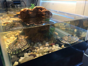 Two Awesome Mississippi Map Turtles for Sale + 20 Gallon ...