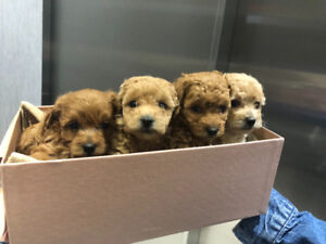Toy size maltipoo poodle puppy