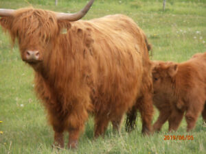 Scottish Highland cattle dispersal