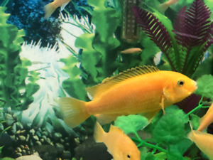 African Cichlids Yellow Labs 2.5""