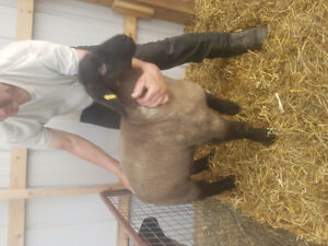 Ram and ewe lambs - several breeds for sale