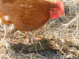 Rhode Island Red Layer Birds