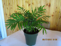 Chinese Fan Palm Tree (Tropical Plant)