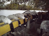chasse a loutarde , oie blanche et canard !