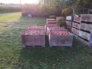 Ground apples for sale. $80 a bin. Farm fresh! Peterborough Peterborough Area image 4