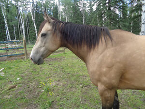 7 year old reg QH mare broke to ride