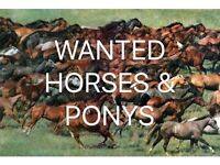 WANTED GELDINGS MARES AND FILLYS