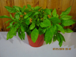 Joseph Coat/Alternantera Ficoidea - Tropical  (Hanging Plant)