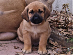 Perfect Family Pups! Retriever X Mastiff  WELL SOCIALIZED!