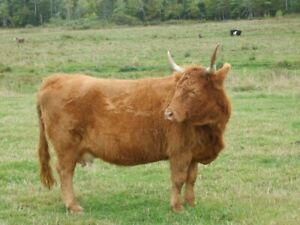 Bred beef cow for sale