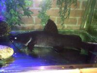 Wykii catfish large