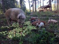 Breeding sow
