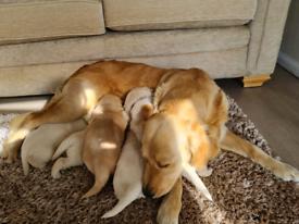 Golden retriever puppys
