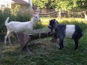 chèvre Saanen et Bouc