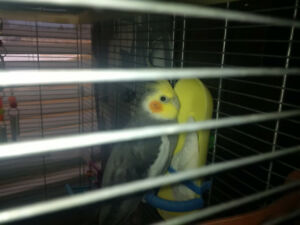 Young male cockatiel for sale