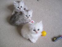 Persian kitten X
