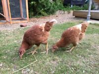 Two friendly pet chickens - 2 months old with house, food, sawdust etc...