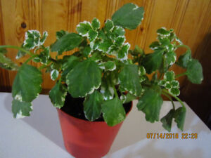 Swedish Ivy - (Coleoides Variegated)- Air Purifying Plant
