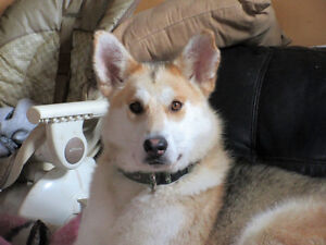 Paws for Love dog rescue has a 1 year husky mix to adopt
