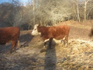 bred cows and feeders for sale.