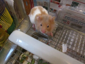 cute hamster for only $5