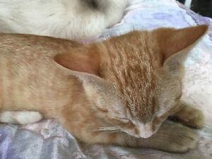 Golden Savannah boy kitten and Angora male cat